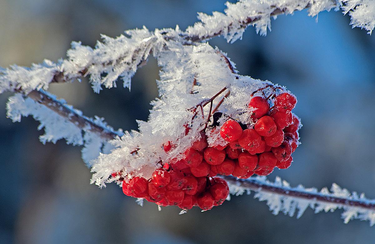 открытки рябина в снегу